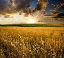 raccolto-di-grano